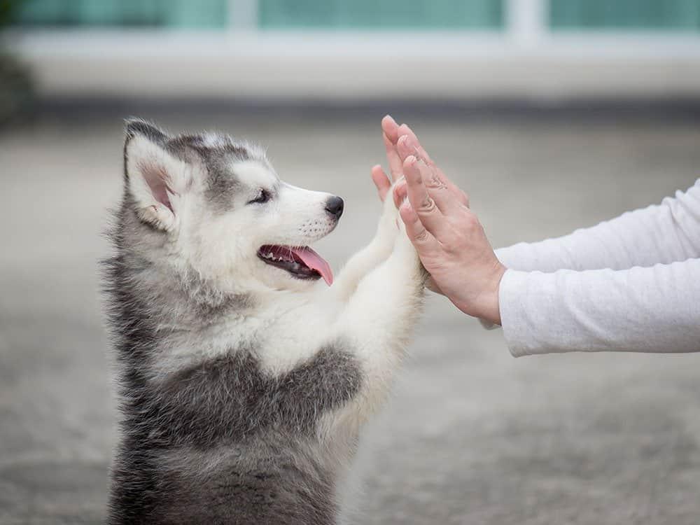 Husky Puppy playing High-5