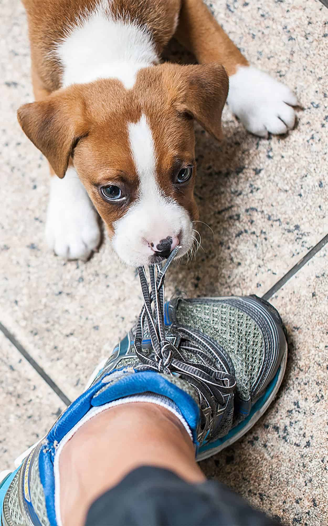 Young Puppy tugging at laces